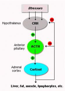 adrenal_2
