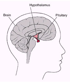 Pituitary Gland has got two lobes: Anterior lobe and Posterior lobe