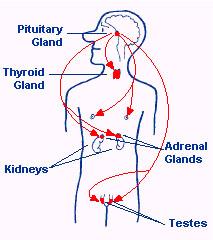 pituitary-2