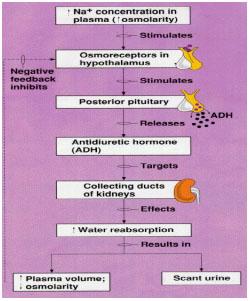 pituitary-6