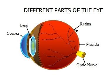 parts of eye - retina