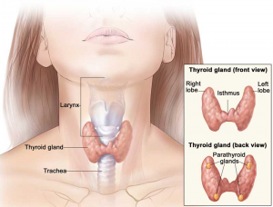 thyroid gland larynx trachea