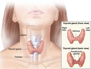 thyroid gland larynx trachea